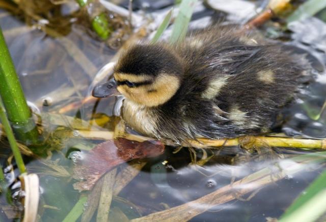 Mallard Duck Baby amongst reeds Grand Canal Dublin